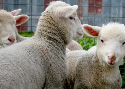 7 Key Points In The Sheep Care Guide Updated For 2017. Fall, 2017.